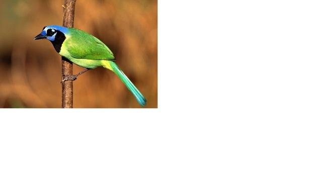 杜鹃鸟身上有什么颜色