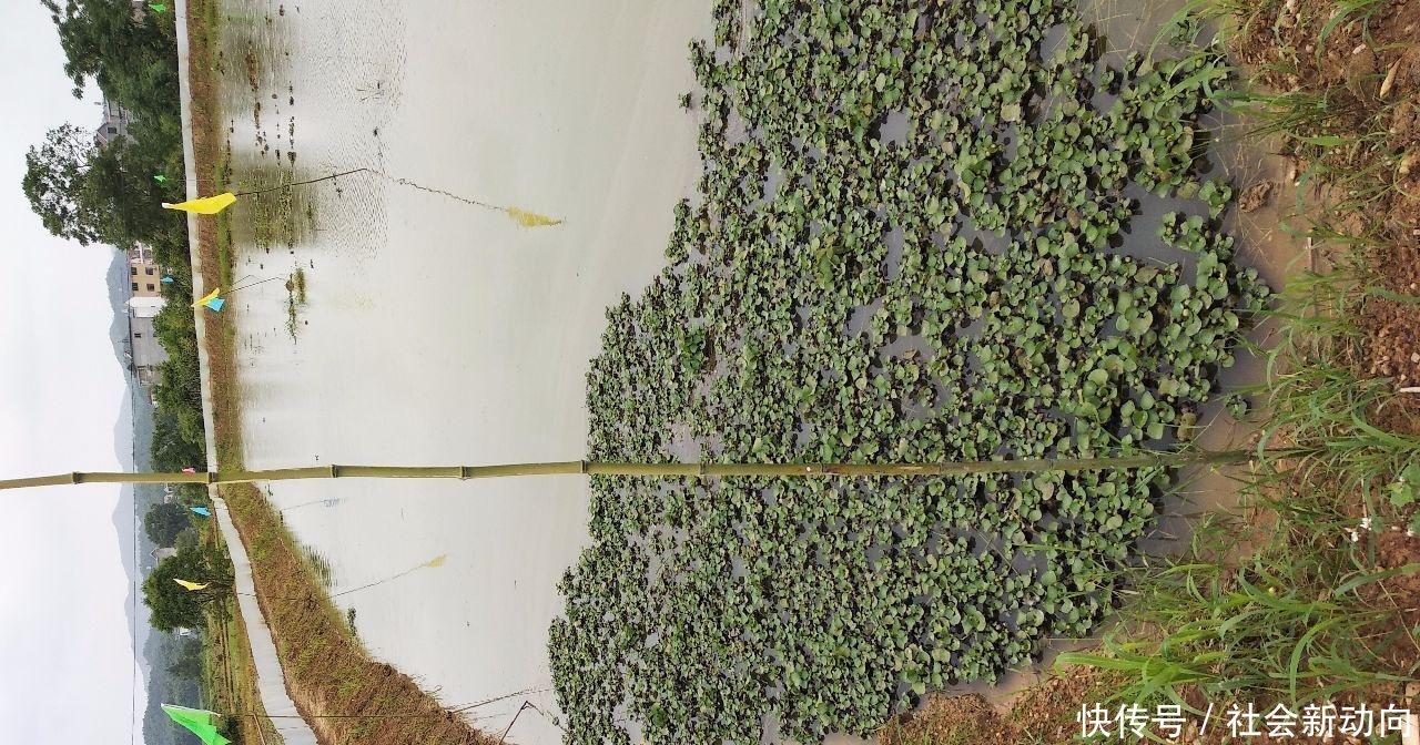 乡下时间家青蛙钓鱼塘,新鲜的猪肝pk龙虾做饵散装燕麦片多长堂哥熟图片