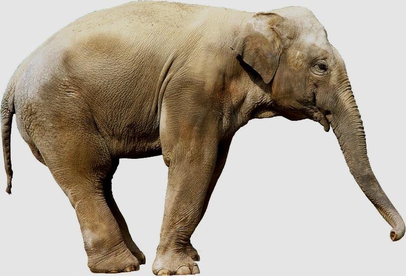 壁纸 大象 动物 800_544