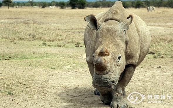 白犀牛,是世界个头最大的犀牛,体形仅此于大象.是极度濒临灭绝的动物.