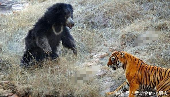 母熊老虎强强对抗,没想到熊胜了,而且胜的原因让人心服口服!