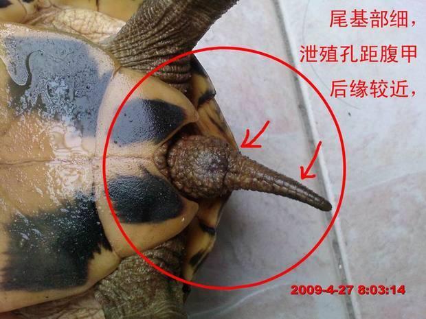 草龟如何分公母 360问答图片