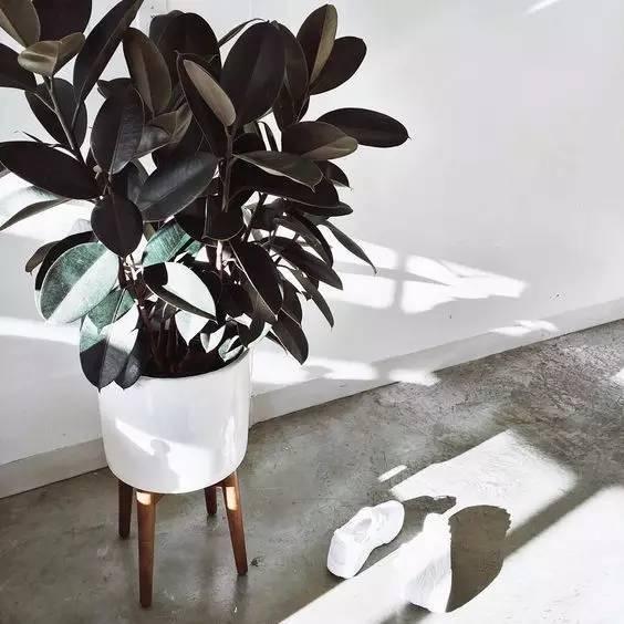 橡皮树是热带的大乔木