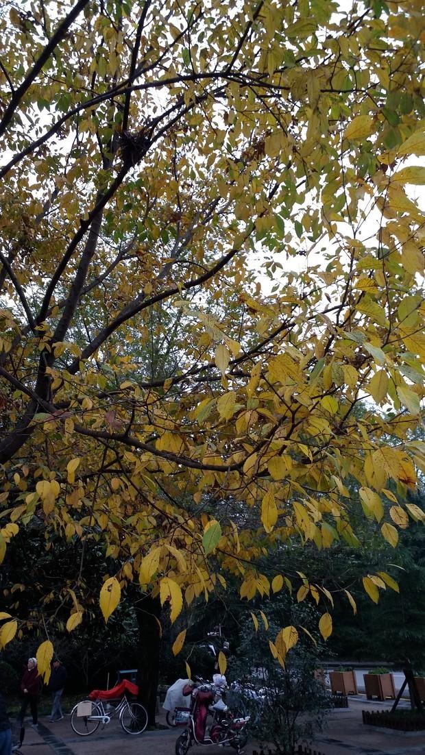 看叶子,像 榆树 很多树都是一到秋天叶子就黄了,看图片的样子好象是