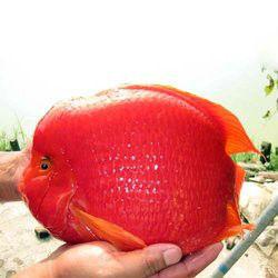 血鹦鹉和地图怎么喂养每天喂几次一次喂多少合