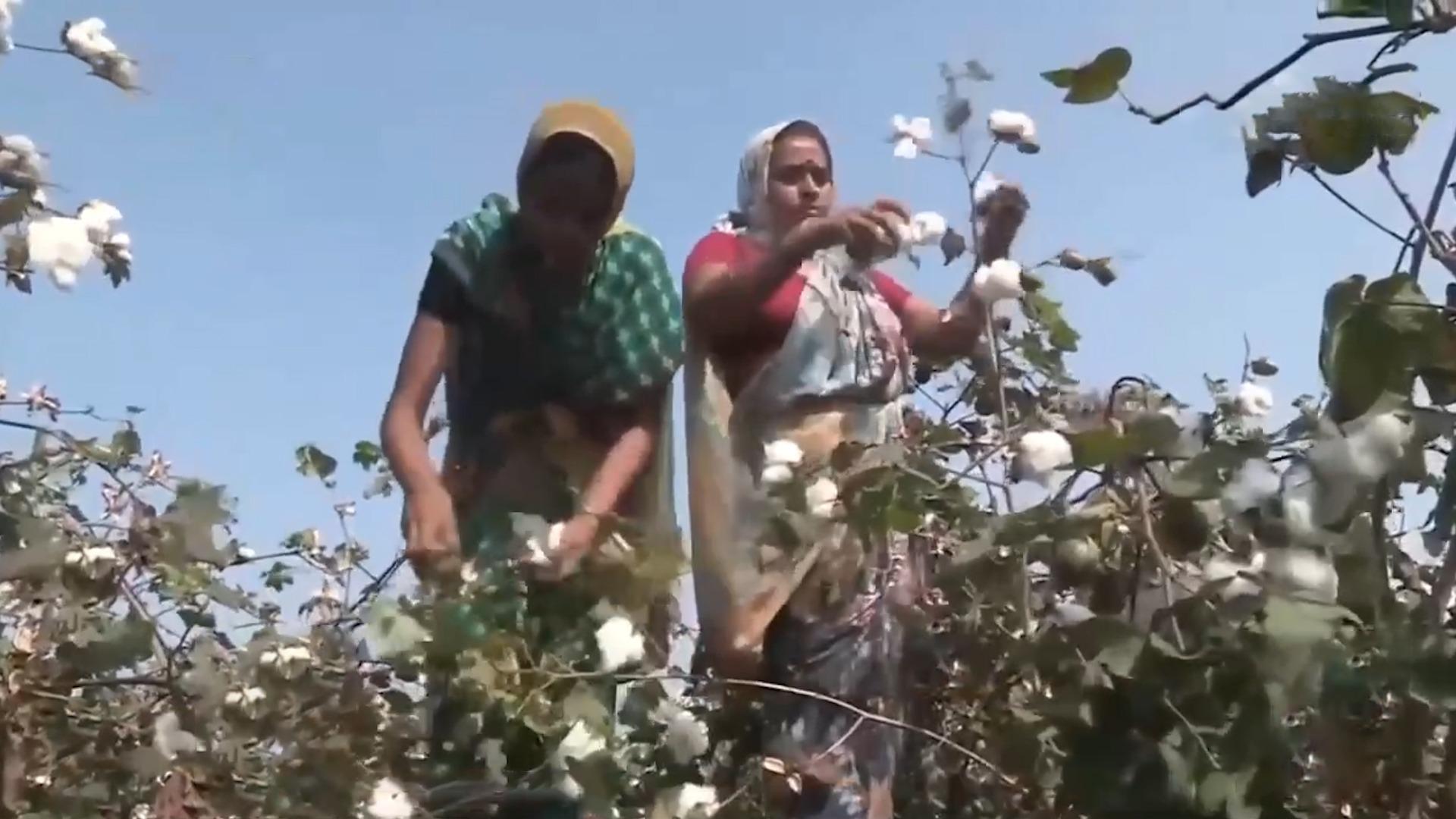 美国孟山都垄断印度棉花种子 繁重债务致棉农自杀
