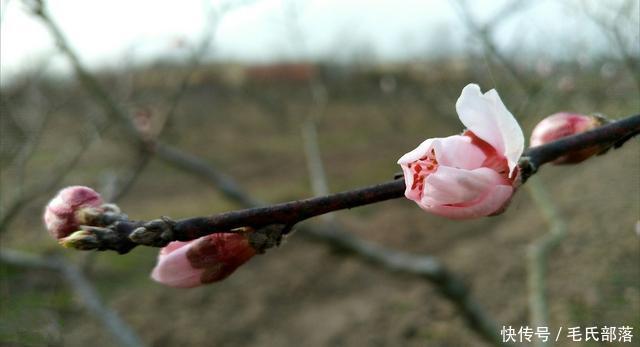 桃树栽培技术|北方桃树冬季管理技术(上)