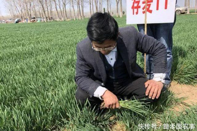 超高产的小麦新品面市!矮杆、大穗,最高亩产量达819.5公斤