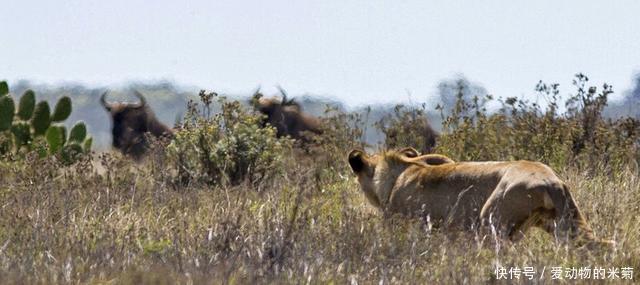 母狮牛羚群中猎捕,惊奇的是,牛羚竟然跳到母狮头上然后顺利逃走