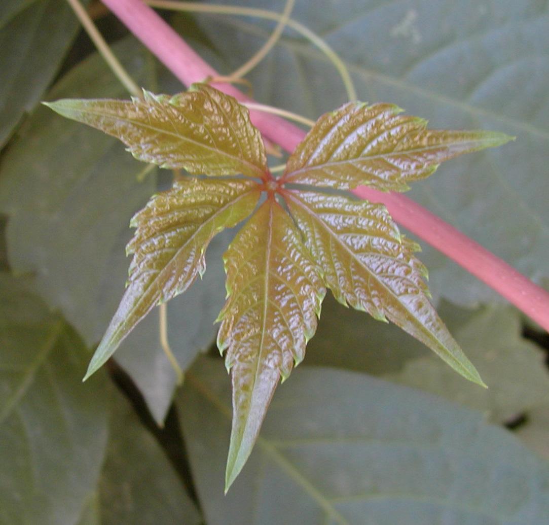 剪纸花朵五叶图案步骤