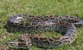 世界上十大蟒蛇排行榜,最长可达15米,重1134公斤!