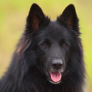比利时牧羊犬之谜