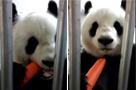 熊猫卖萌吃胡萝卜