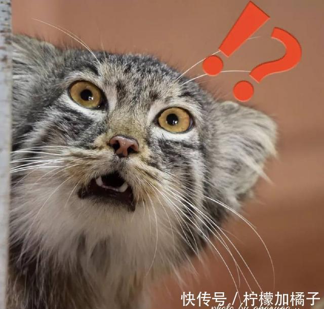 表情动物界表情大佬,那不得不提我们的兔狲小朋友歪要说包图片