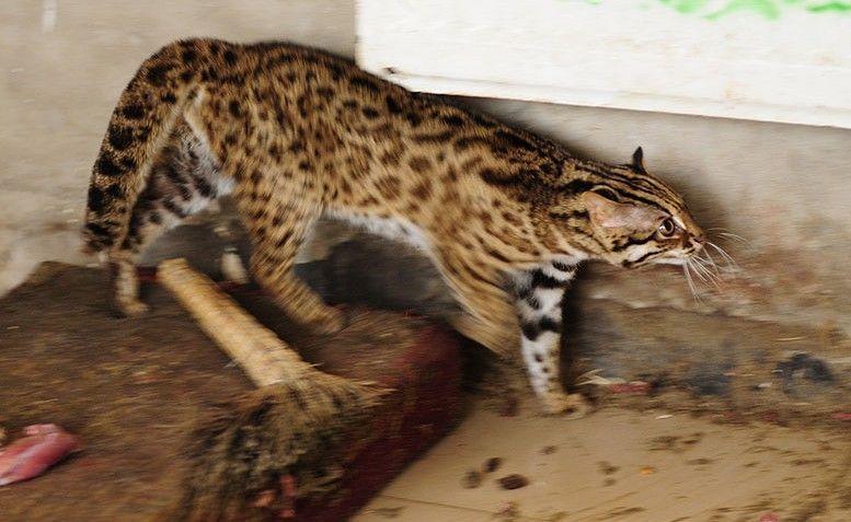 豹猫是不是保护动物