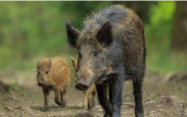 六:福岛核污染让野猪发生了变异,体长在1.