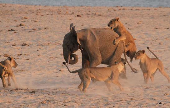大象被狮群围攻  却想 - 宗令      峻岭 - 畅想曲