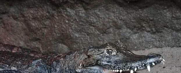 交配40多年还生不出娃的鳄鱼夫妇,检查结果让人难于启齿