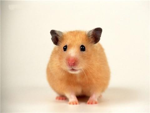 仓鼠可爱动态图