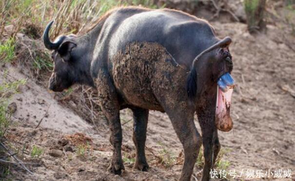 水牛屁股挂着出来半个头的小水牛到处疾走,想不到竟是在找这东西