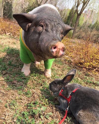 """谈到养宠物猪的初衷时,女子说:""""我就是喜欢猪,因为我也姓诸."""