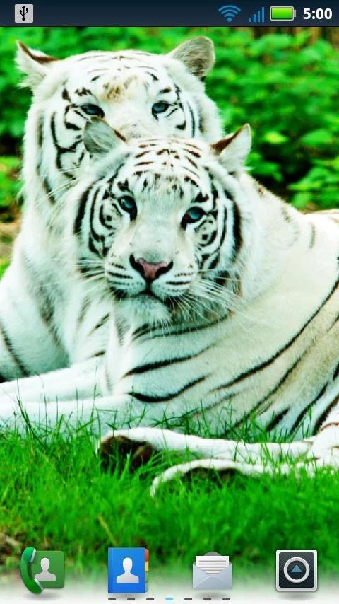 不同品种的猫是非常相似的结构和行为的异常的猎豹