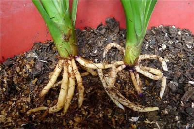 养植物,首先要养根,自制生根水是个不错的选择 - 平淡无奇 - 平淡无奇博客