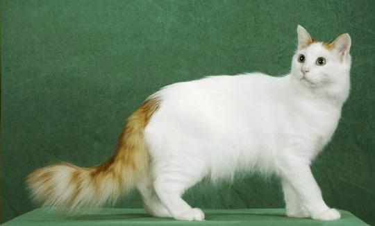 宠物猫当中有不少名贵品种