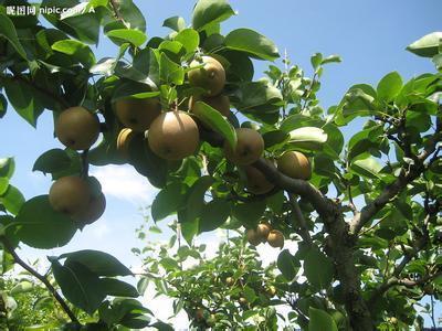 黄花梨油梨树叶怎样图片