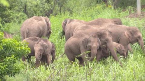 吃完就溜!实拍云南象群休息觅食,小象把脚搭妈妈身上