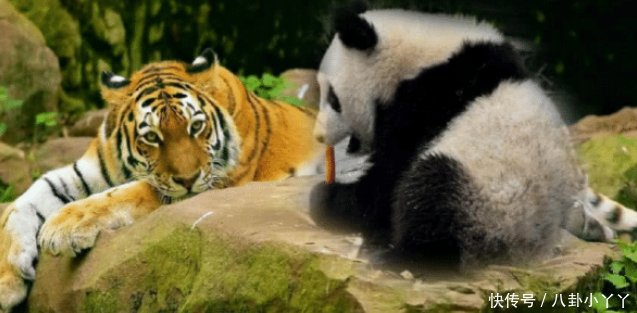 为什么狮子、老虎不吃大熊猫熊猫请查一下老子以前的名字