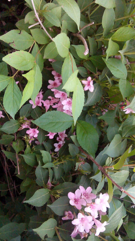下植物图片来自公园绿化带,灌木状,高约2米,花细喇叭状,求学名.