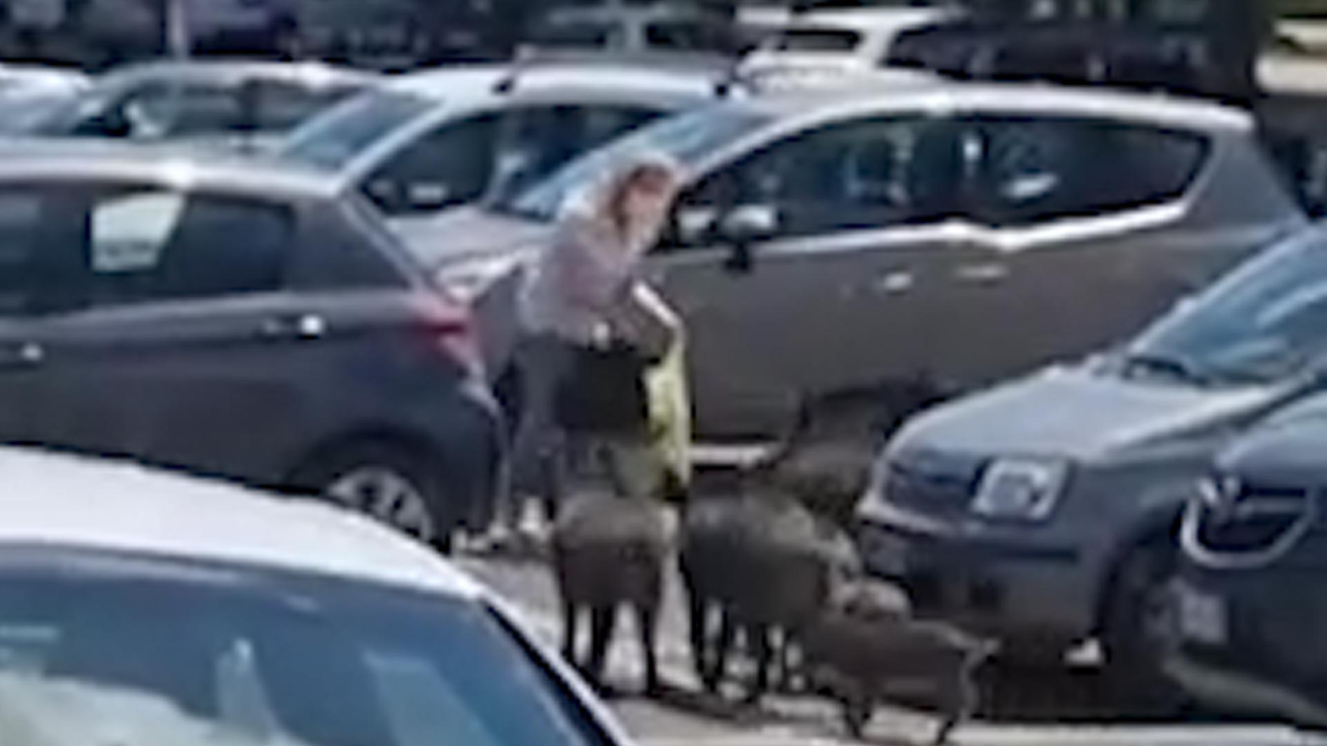 意大利一女子刚从超市出来 一群野猪将其围住讨要食物